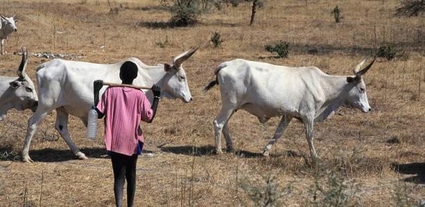 Linguère : Sidy Sow tue son voisin berger à coups de coupe-coupe