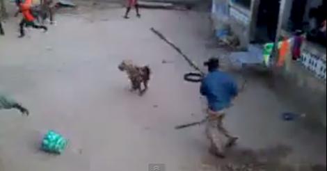 Une hyène sème la panique à Foundiougne (Video choquante)