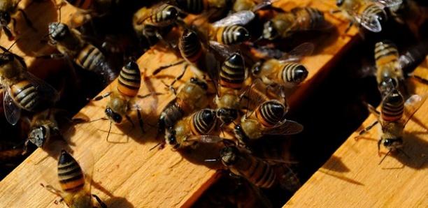 Sauve-qui-peut dans un cimetière à Kaffrine : Des abeilles empêchent l'enterrement d'un corps