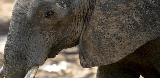 Zimbabwe: une ONG tente de bloquer la vente de 30 éléphants à la Chine