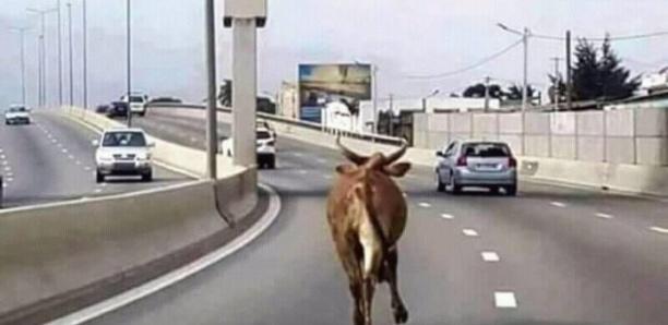 Quand les vaches de la capitale ont un meilleur sort que les mécaniciens déguerpis