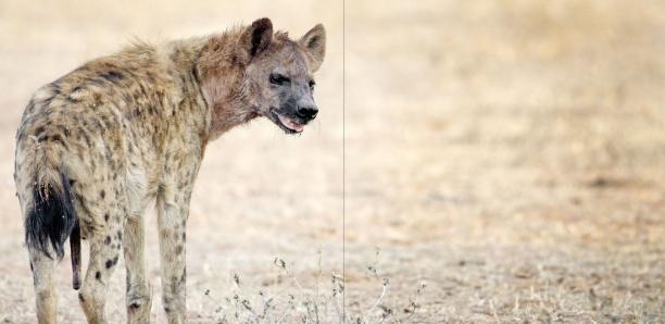 Porokhane : Une hyène sème la terreur dans un village