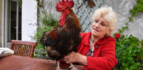 Tribunal correctionnel de Rochefort : un coq accusé de nuisance sonore gagne son procès