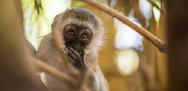 Sous la menace des drones, des singes d'Afrique se trouvent un cri inédit